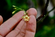T. iboga long fruit, flower